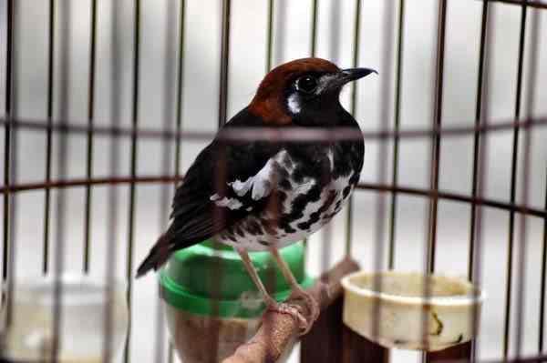 Mengatasi Kegemukan Pada Burung