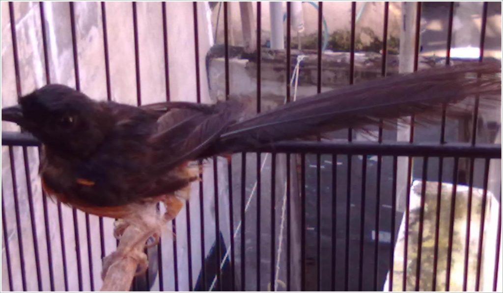 Penyebab Kerusakan Bulu pada Burung beserta Perawatan dan pencegahan