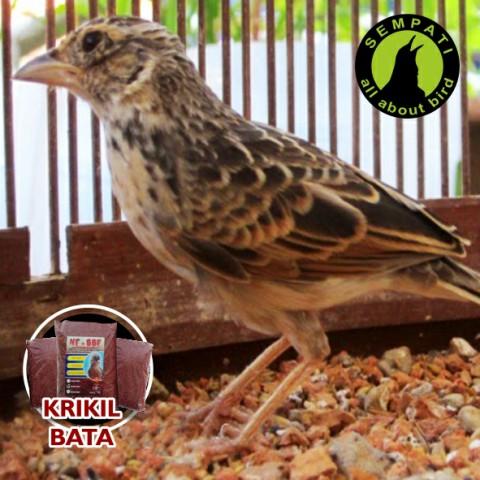 Pasir Krikil Untuk Sangkar Burung Branjangan Bbf Sempati Bird Shop