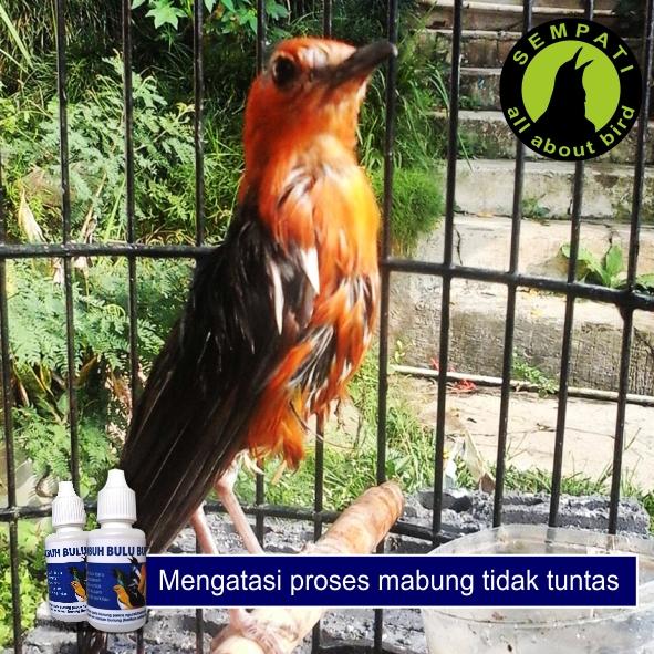 Obat Penumbuh Bulu Burung Sempati Mengatasi Bulu Rontok Patah Sulit Tumbuh Mempercepat Mabung Untuk Murai Kacer Lovebird Anis Cucak Pleci Dll Sempati Bird Shop